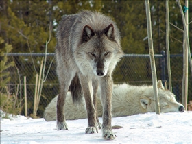 The Tragedy of Wolf Dogs  Patricia McConnell PHD
