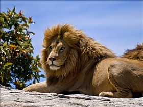 Lion vs. Tiger: Kings of the Animal World | reComparison